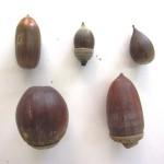 上左から:コナラ、シラカシ、スダジイ 下左から:クヌギ、マテバシイ