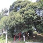 八坂神社のスダジイ