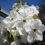 梨の花(4/16)