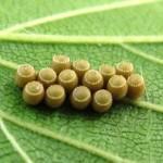 チャバネアオカメムシの卵