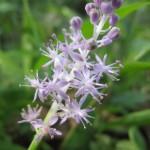 ツルボ(普通の花)