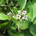 白い小さな花が可愛らしい(7/28)