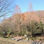桜ヶ丘公園のメタセコイア(12/19)