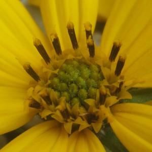 管状花は外側から咲き始めます